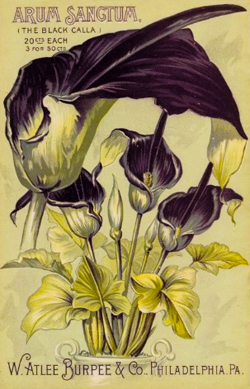 Arum Sangtum The Black Calla